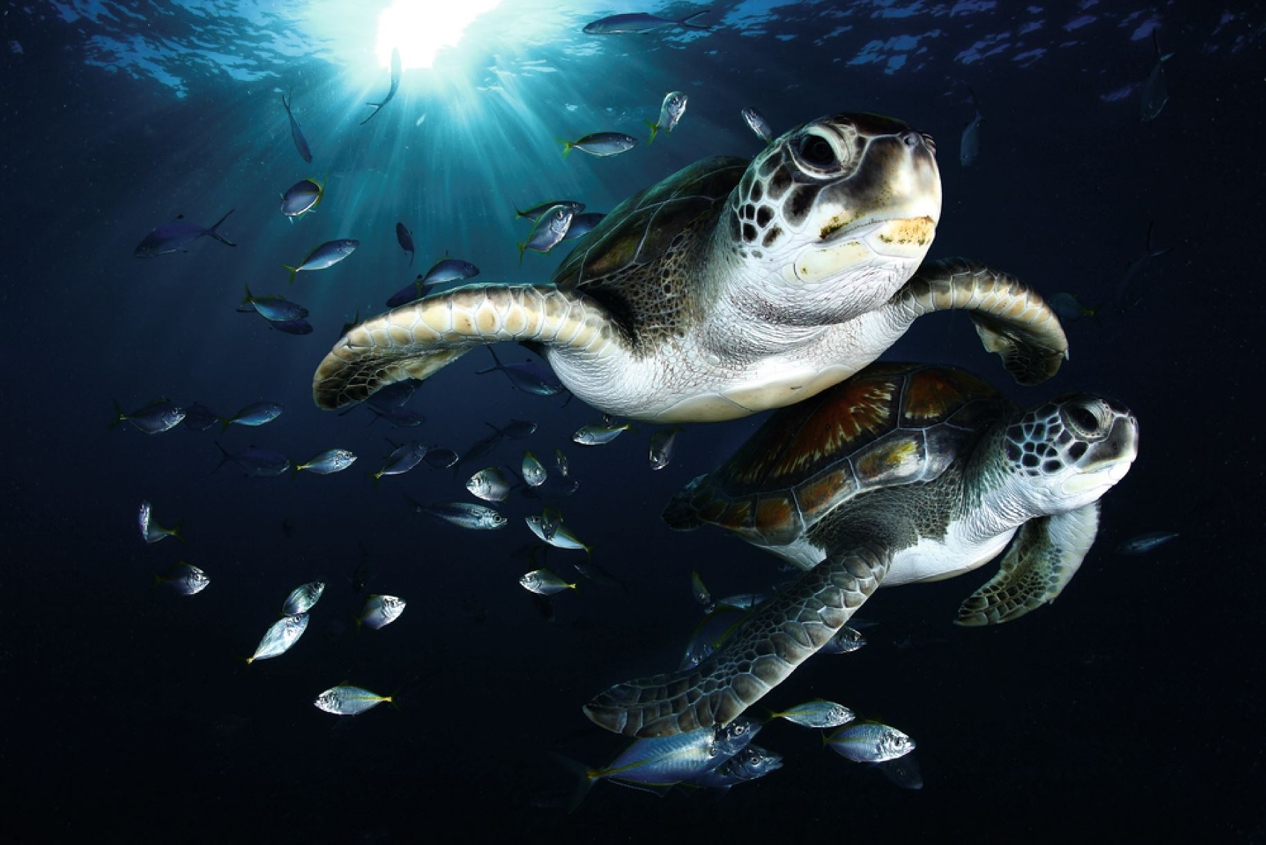 Sea turtles in the Canary Islands