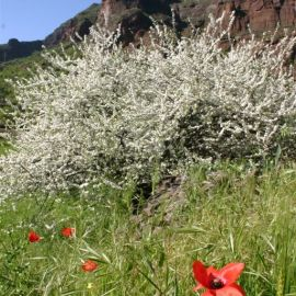 almond_blossom_in_the_valley_of_guayadeque