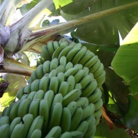 bananas_fruit