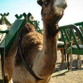 camels-maspalomas-001