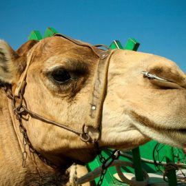 camels-maspalomas-002