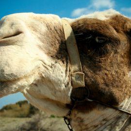 camels-maspalomas-004