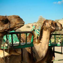 camels-maspalomas-005