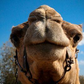 camels-maspalomas-006