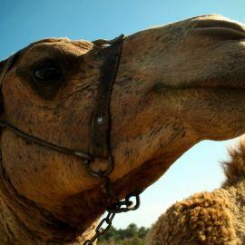 camels-maspalomas-007
