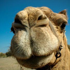 camels-maspalomas-008