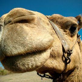 camels-maspalomas-009