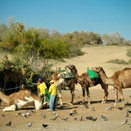 camels-maspalomas-013