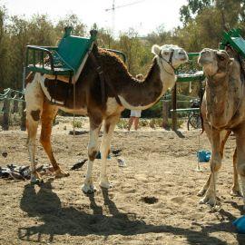 camels-maspalomas-014