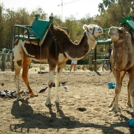 Camel Safari (Maspalomas)