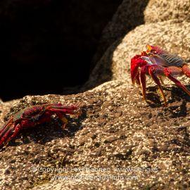 crabs-007