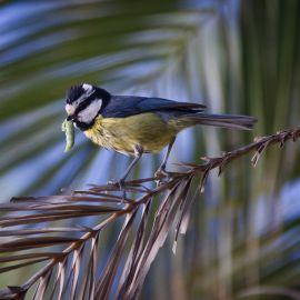 great_tit-001
