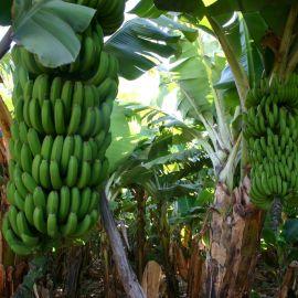 bananas-001