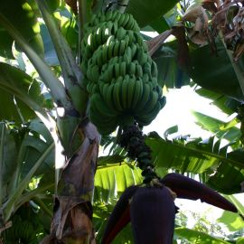 bananas-003