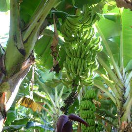 bananas-006
