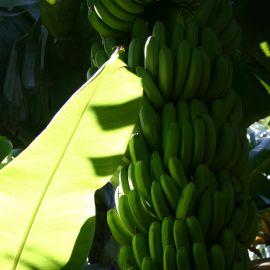 bananas-007