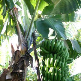 bananas-009