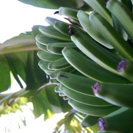 bananas-010