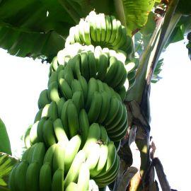 bananas-013