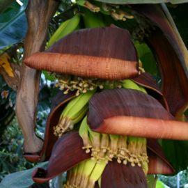 bananas-016