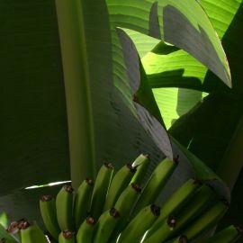 bananas-022
