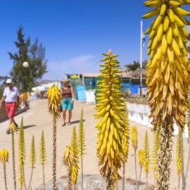 Arguineguin Town & Coast: Aloe Vera