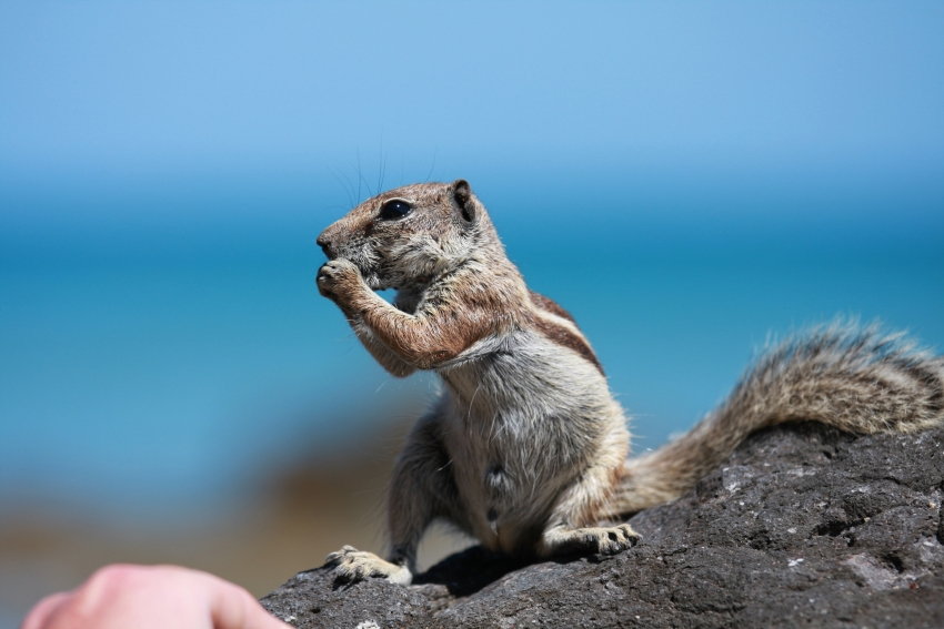 Feral ground squirrels threaten Gran Canaria's delicate natural balance