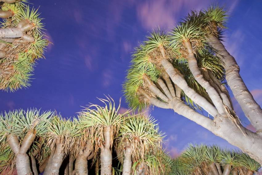 Canary Islands dragon trees