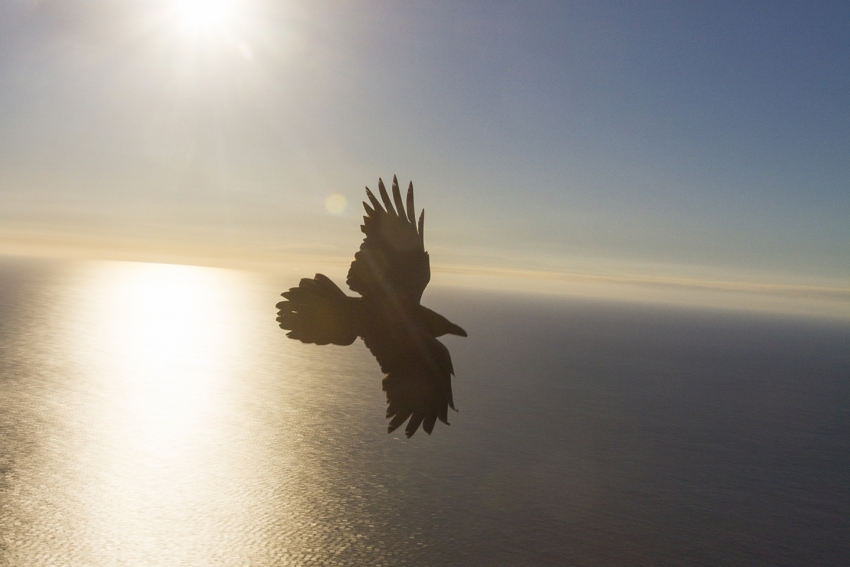 One of Gran Canaria's last ravens
