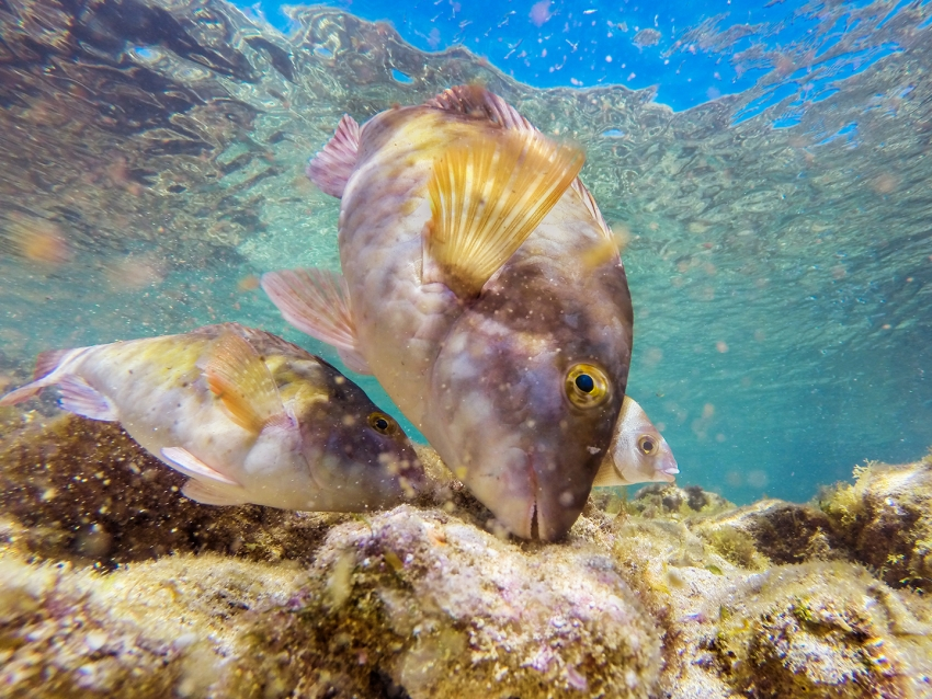 Snorkel in Gran Canaria and you meet fish like this