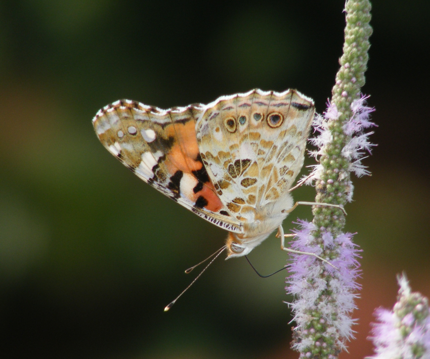 Gran Canaria invaded by butterflies in October 2019