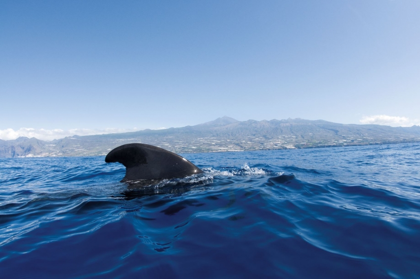 Pilot whales live and breed in Canary Islands waters