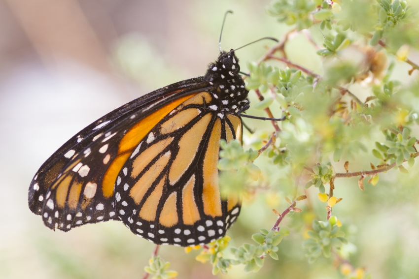 The Monarch butterfly is native to Gran Canaria