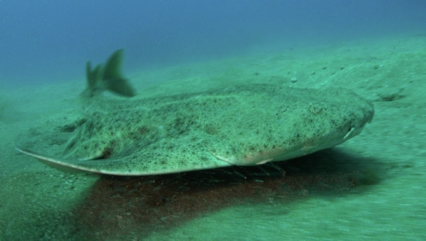 The critically endangered angel shark is common in the Canary Islands