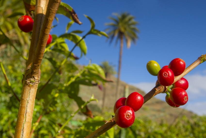 Gran Canaria coffee tastes best right where it is grown