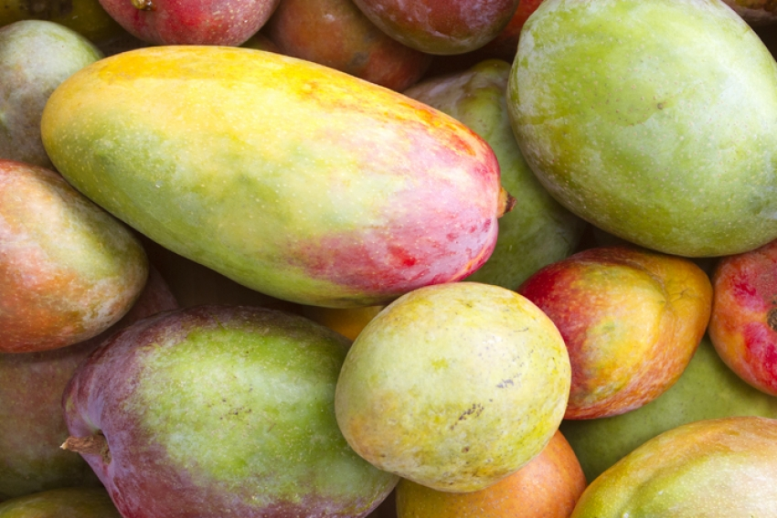 Mangos are juicy targets from Gran Canaria fruit theives