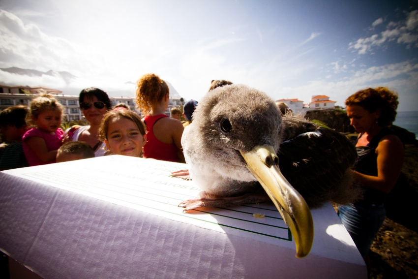Shearwater fledgling about to be released in Gran Canaria