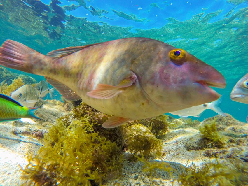 Parrotfish are often seen on Gran canaria scuba dives