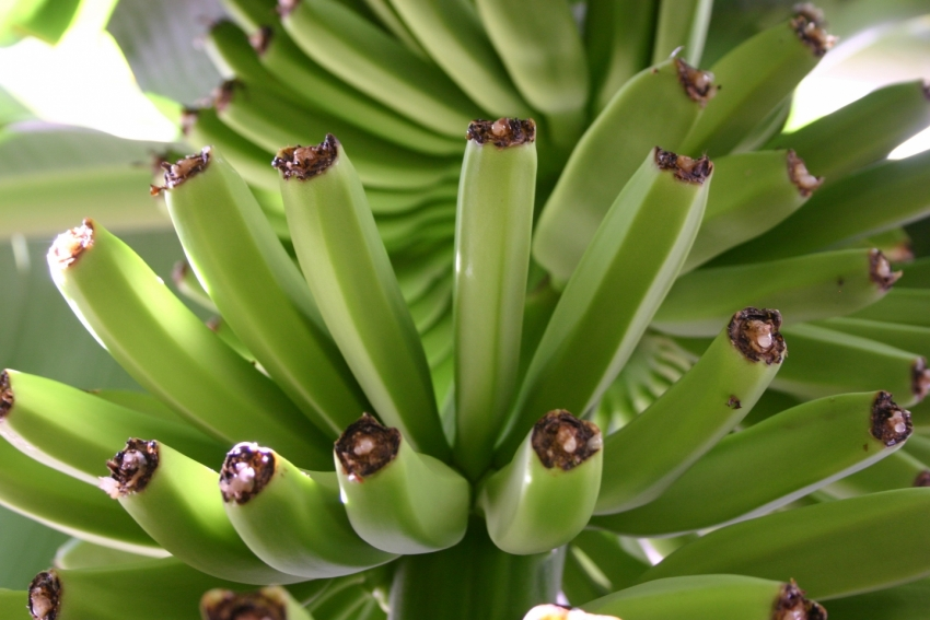 Bananas growing in Gran Canaria