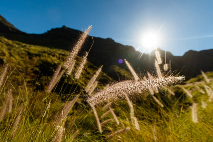 Invasive fountain grass in Gran Canaria
