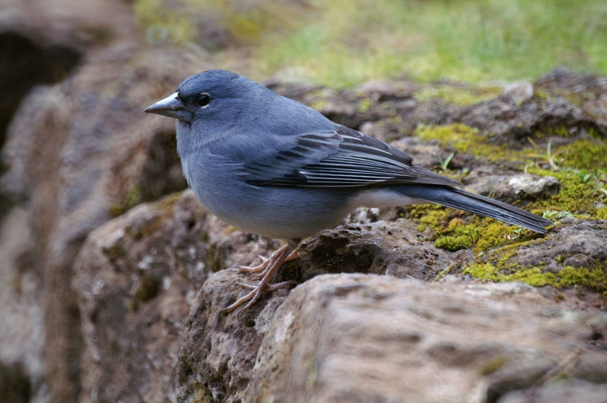 The Gran Canaria blue chaffinch is a now a separate species and one of the world's rarest birds